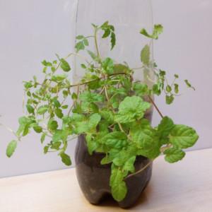 ペットボトル栽培にチャレンジ!身近でビギナーにもできる簡単菜園